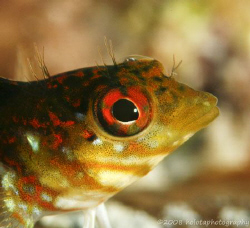 A blenny upclose. Cayman Brac. Canon 400D 100mm + 250D. by Paul Holota